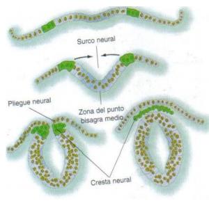 cresta-neurall