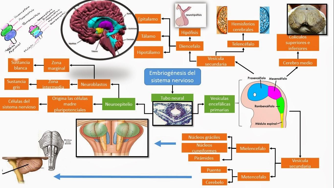 embriogenesis-sn2