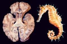 hipocampo-1