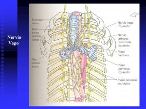 nervio-vago