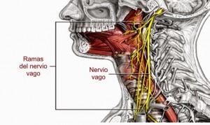 nervio_vago-11
