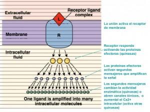 receptores-de-membranas-celulares-21-638