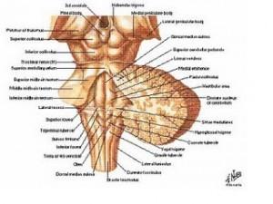 tallo-cerebral-vista-posterior1